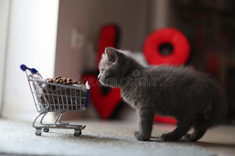 Kitten eating from a shopping cart with pet food. British Shorthair kitten eating from a shopping cart full of pet food, cat food royalty free stock image
