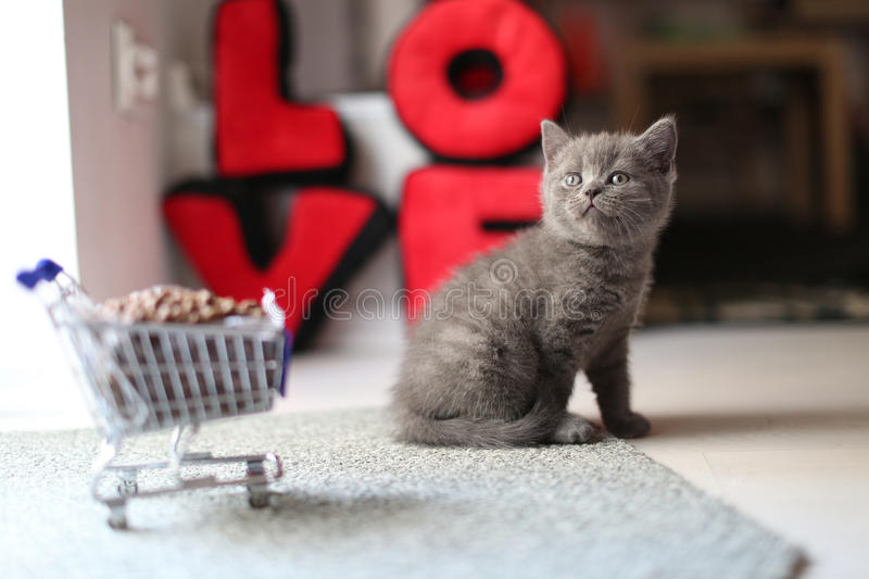 Kitten eating from a shopping cart with pet food. British Shorthair kitten eating from a shopping cart full of pet food, cat food stock photography