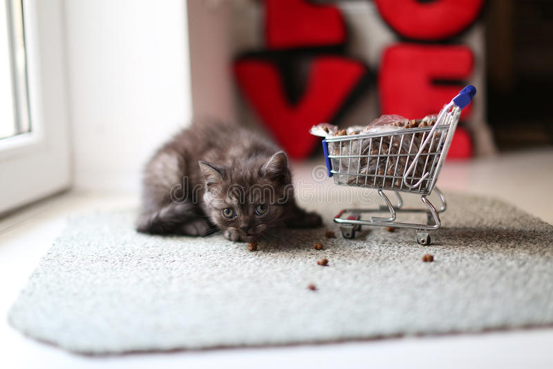 Kitten eating from a shopping cart with pet food. British Shorthair kitten eating from a shopping cart full of pet food, cat food royalty free stock images