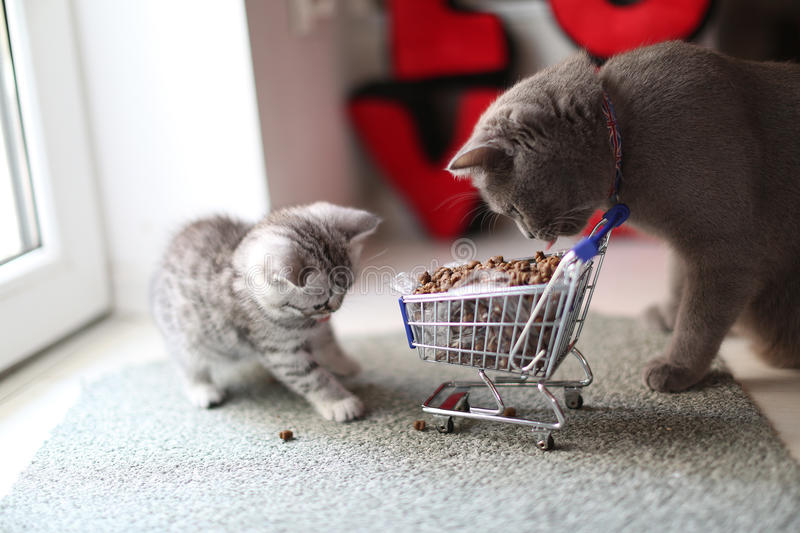 Kitten eating from a shopping cart with pet food. British Shorthair kitten eating from a shopping cart full of pet food, cat food stock images