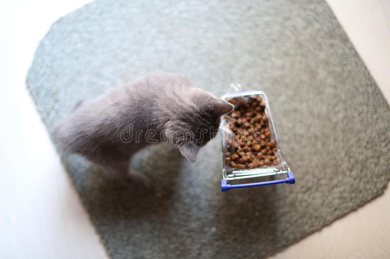 Kitten eating from a shopping cart with pet food. British Shorthair kitten eating from a shopping cart full of pet food, cat food royalty free stock photo