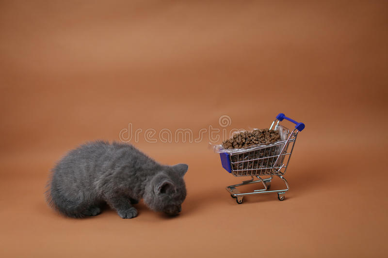 Kitten eating from a shopping cart with pet food. British Shorthair kitten eating from a shopping cart full of pet food, cat food, studio background royalty free stock photos