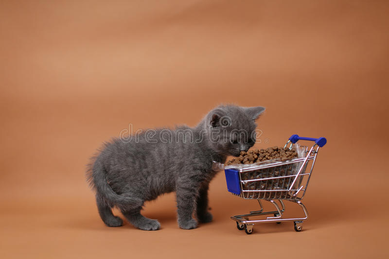 Kitten eating from a shopping cart with pet food. British Shorthair kitten eating from a shopping cart full of pet food, cat food, studio background royalty free stock images