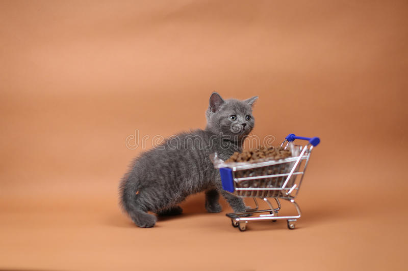 Kitten eating from a shopping cart with pet food. British Shorthair kitten eating from a shopping cart full of pet food, cat food, studio background stock image
