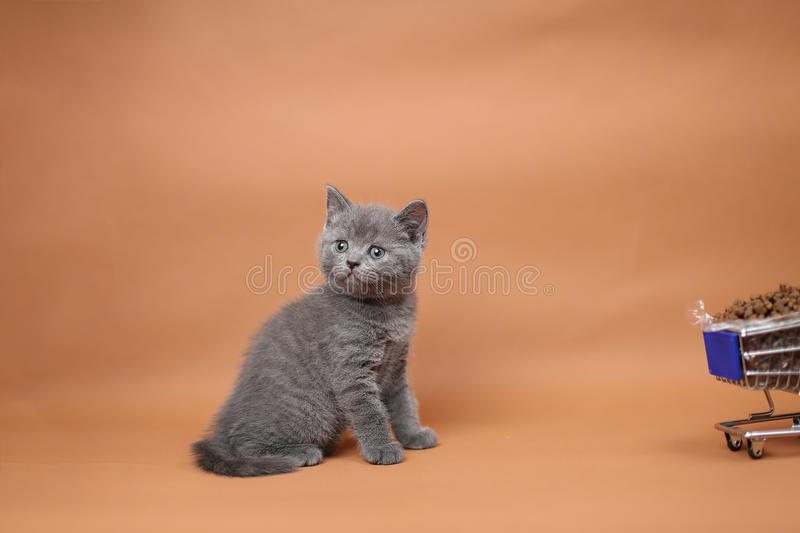 Kitten eating from a shopping cart with pet food. British Shorthair kitten eating from a shopping cart full of pet food, cat food, studio background royalty free stock photo