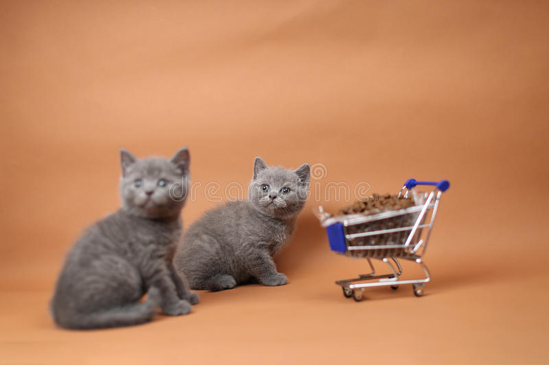 Kitten eating from a shopping cart with pet food. British Shorthair kitten eating from a shopping cart full of pet food, cat food, studio background stock images