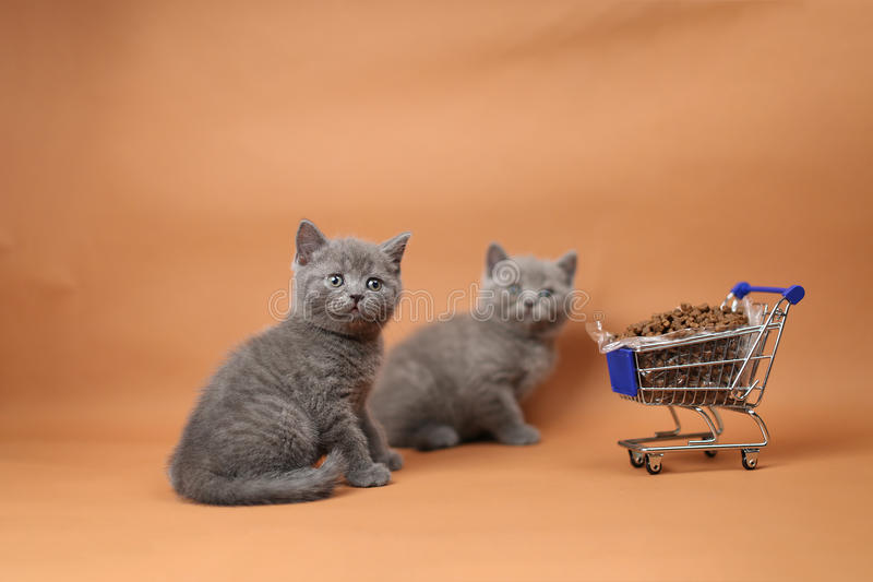 Kitten eating from a shopping cart with pet food. British Shorthair kitten eating from a shopping cart full of pet food, cat food, studio background royalty free stock photography