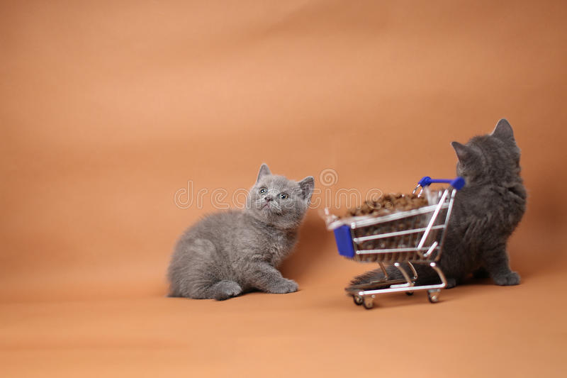 Kitten eating from a shopping cart with pet food. British Shorthair kitten eating from a shopping cart full of pet food, cat food, studio background stock photography