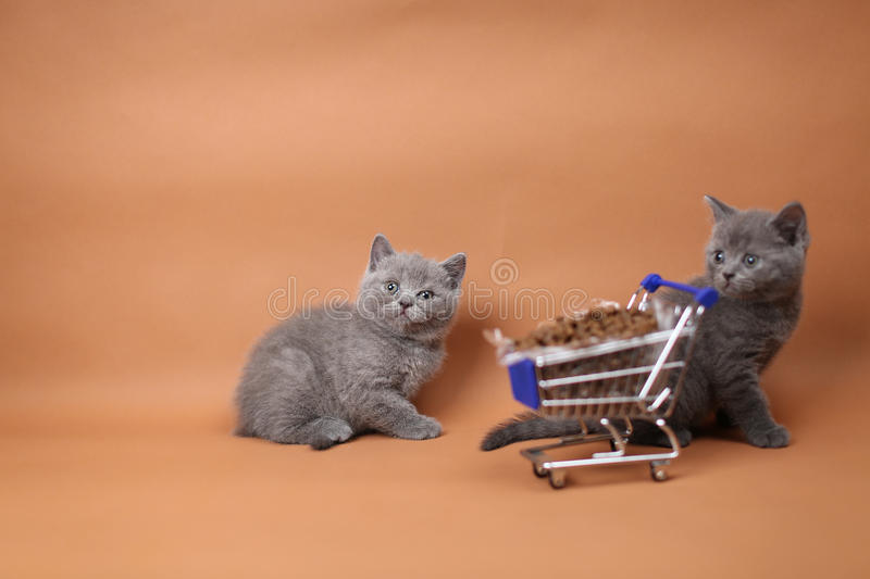 Kitten eating from a shopping cart with pet food. British Shorthair kitten eating from a shopping cart full of pet food, cat food, studio background stock photo