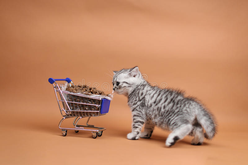Kitten eating from a shopping cart with pet food. British Shorthair kitten eating from a shopping cart full of pet food, cat food, studio background stock photos