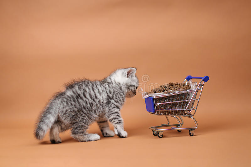 Kitten eating from a shopping cart with pet food. British Shorthair kitten eating from a shopping cart full of pet food, cat food, studio background royalty free stock image