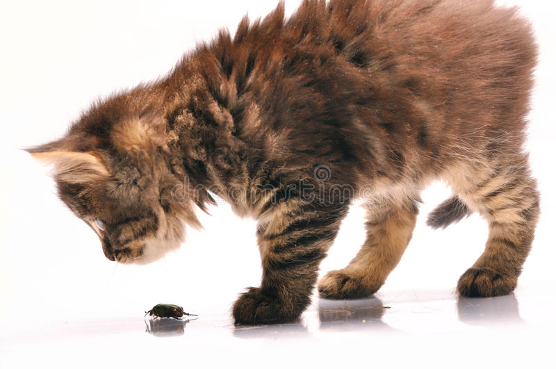 Kitten exploring a bug royalty free stock images