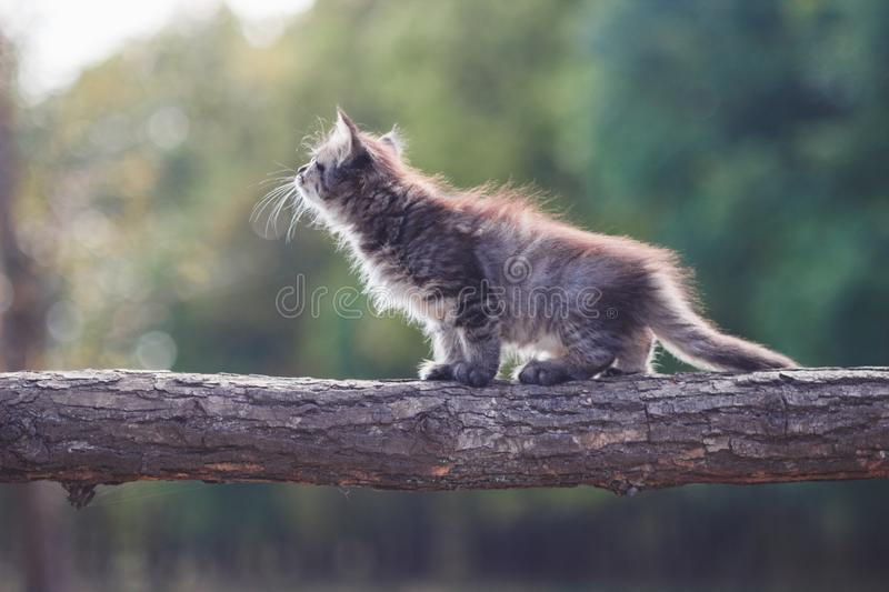 Fluffy Kitten in the forest goes on a tree trunk stock images