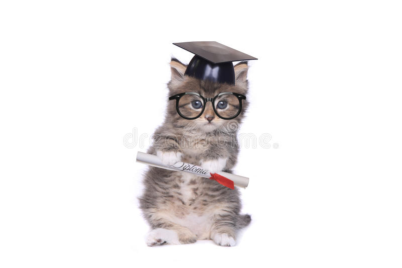 Kitten Graduating With Diploma royaltyfria bilder