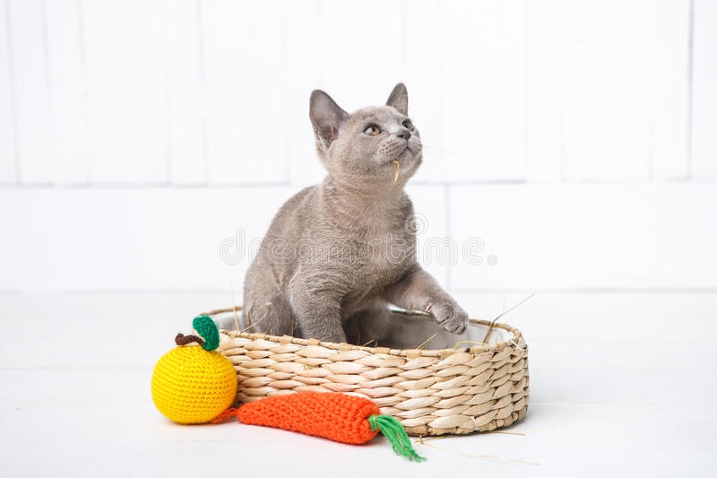 kitten gray breed, the Burmese is sitting in a wicker basket. Next toy crocheted in the form of fruit. White background. royalty free stock photos