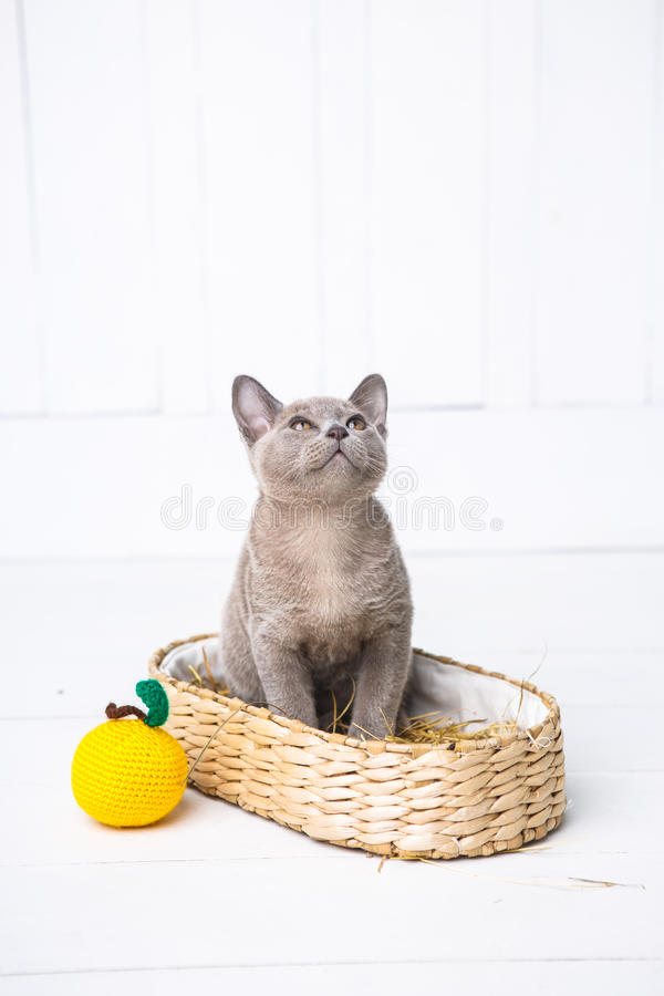 kitten gray breed, the Burmese is sitting in a wicker basket. Next toy crocheted in the form of fruit. White background. royalty free stock image