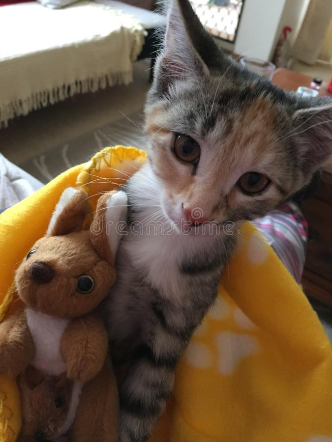 Kitten and toy kangaroo royalty free stock images