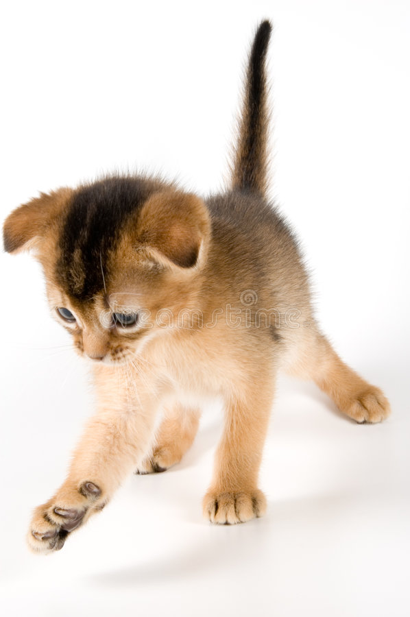 Free Kitten In Studio Stock Images - 3846454