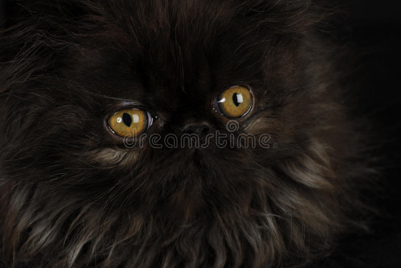 Download Kitten with intense eyes stock image. Image of adorable - 16540041