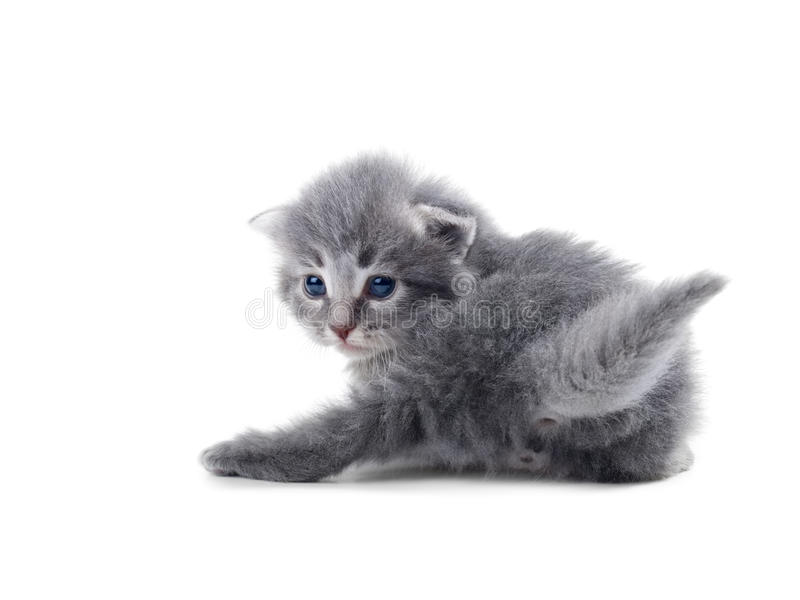 Kitten Isolated Stock Photography