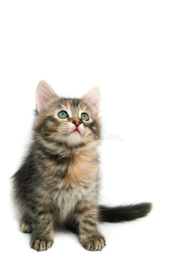 Kitten - isolated on white stock photo