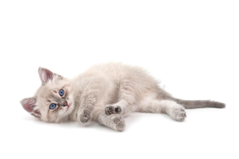 Kitten. Isolated on white background stock photography
