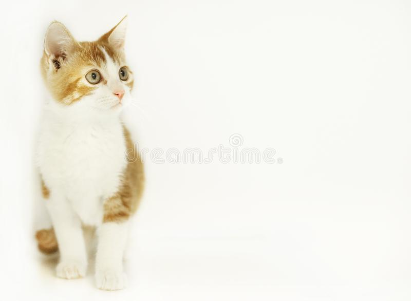 A kitten on an isolated white background with room for text. A cute orange tabby kitten on an isolated white background with plenty of room for text stock image
