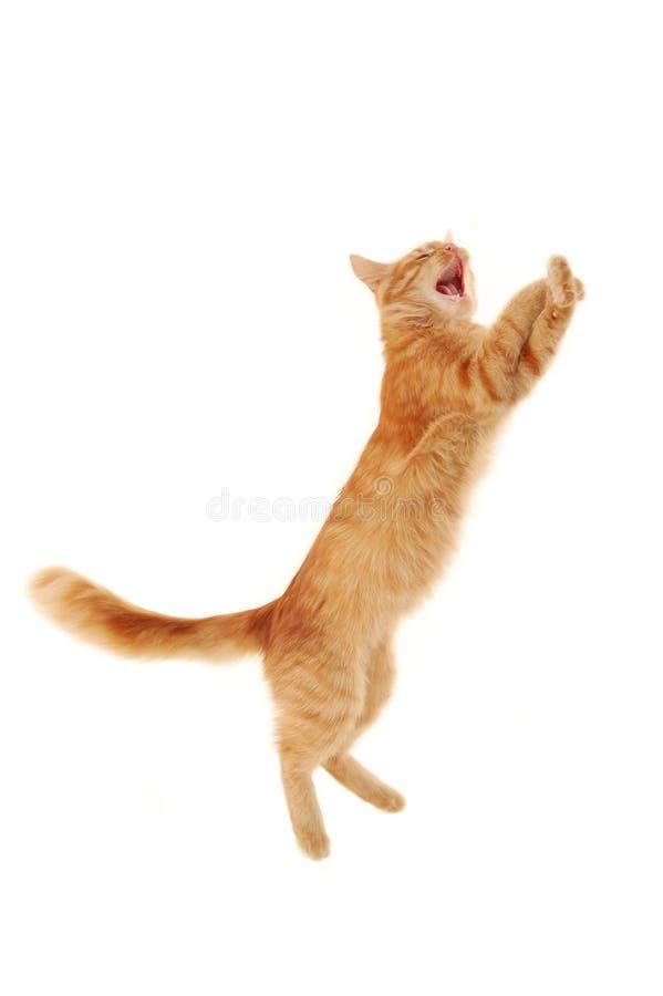 Kitten jumping royalty free stock photography