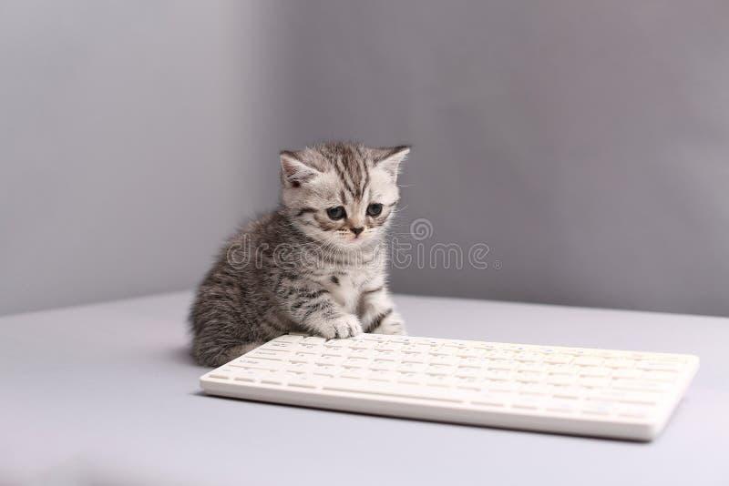 Kitten on a keyboard. British Shorthair kitten sitting on a white keyboard royalty free stock photo