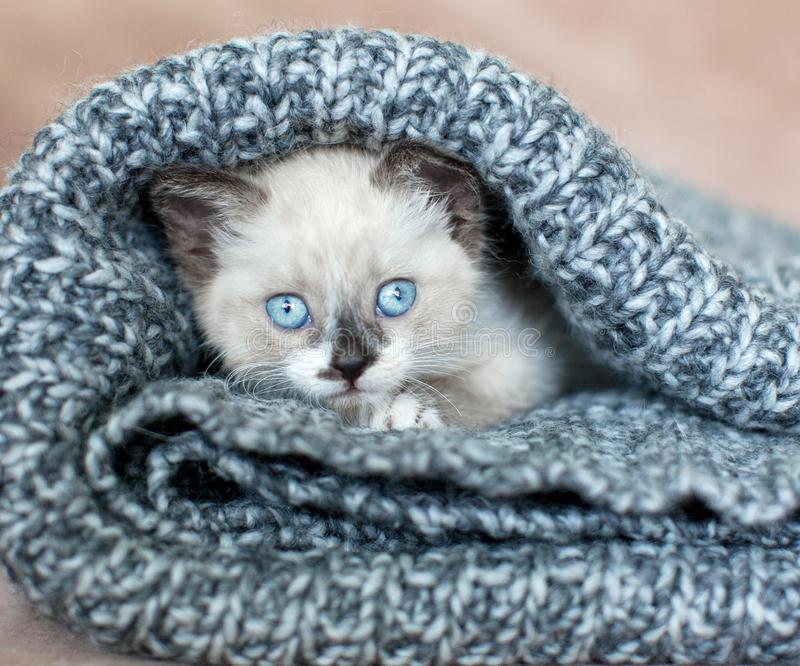 Kitten on a knitted blanket. Kitten on a white knitted blanket. Little cut cat at home stock photo