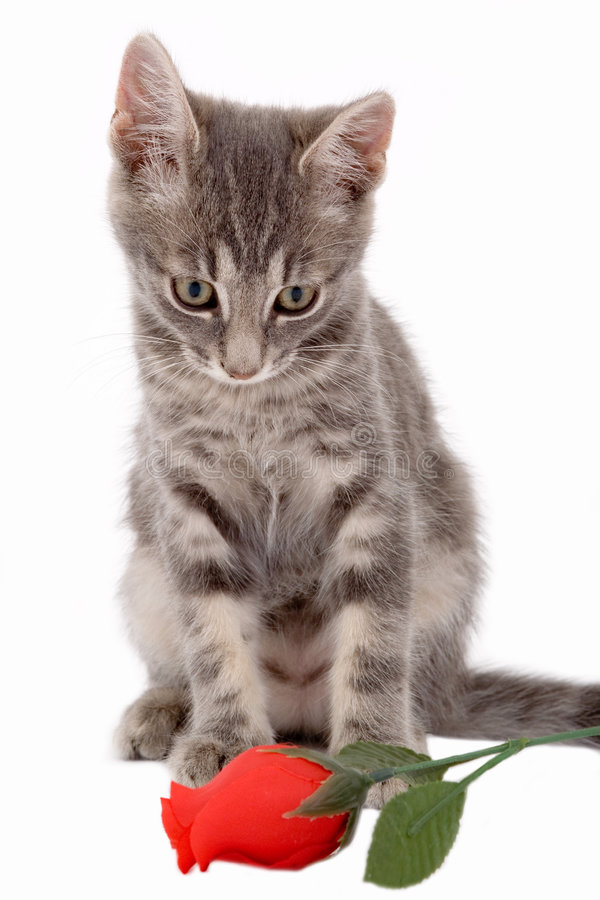 Free Kitten Looking A Red Rose Stock Photography - 3316182
