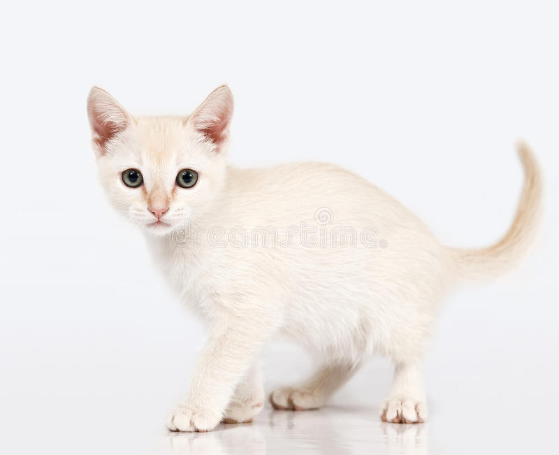 Kitten looking at me. White little kitten going through the white background and looking at me. Diamond Toy Munchkin royalty free stock photos
