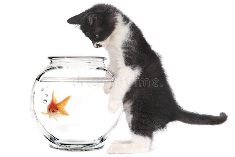 Kitten Looking på guldfisken i en bunke royaltyfri fotografi