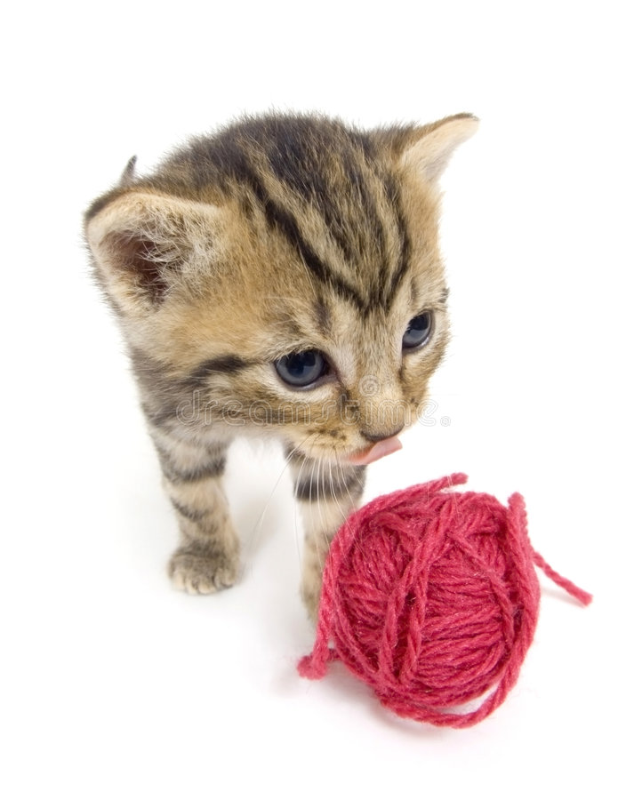 Kitten looking at red yarn on white background royalty free stock images
