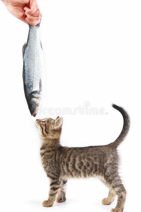 Kitten looking at sea bass fish which gives it female hand on a white background. Kitten looking at sea bass fish which gives it a female hand on a white royalty free stock images