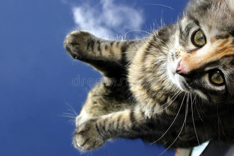 Download Kitten Looking Uo stock photo. Image of mammal, care, domesticated - 157448