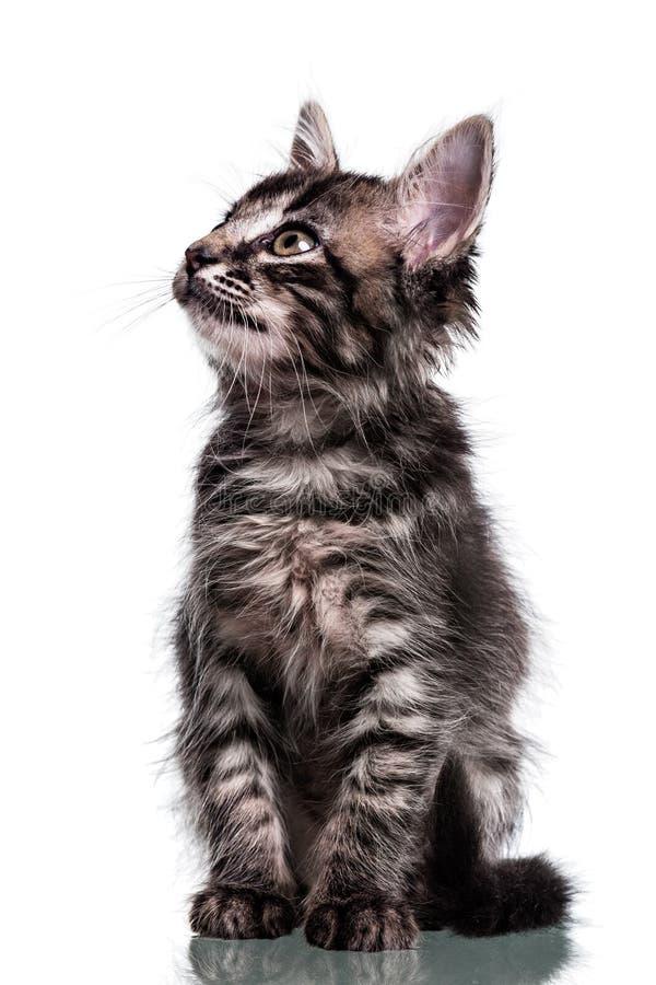Kitten Looking Up peludo bonito imagem de stock royalty free