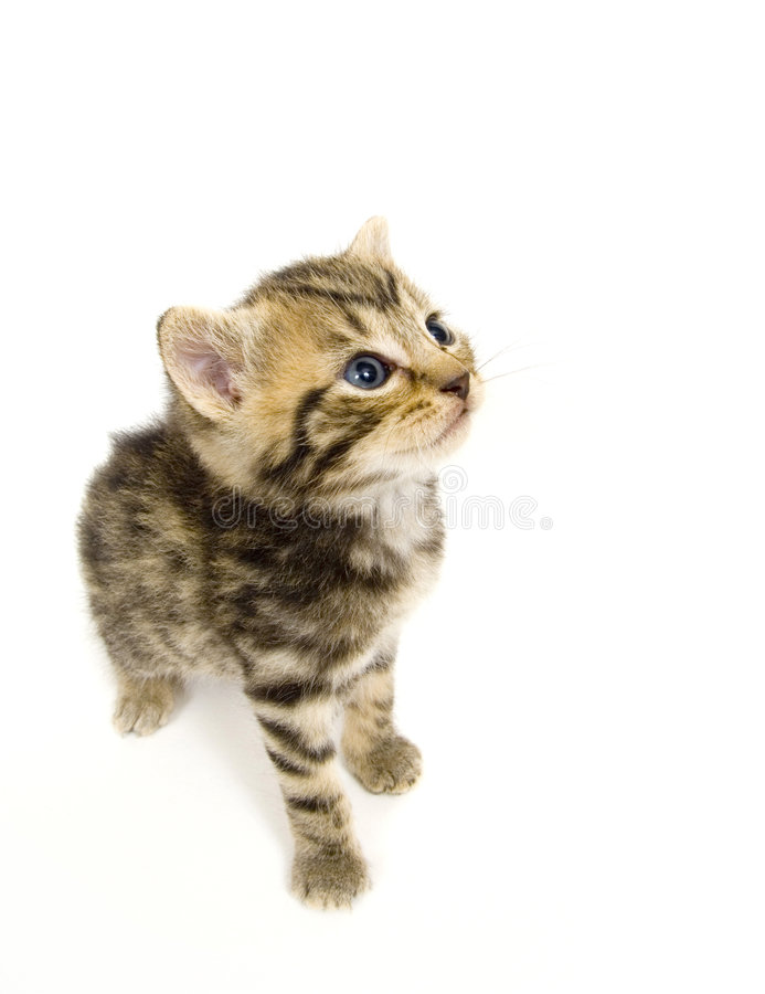 Kitten looking up on white background royalty free stock photos