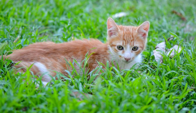 Kitten lying on green grass royalty free stock images