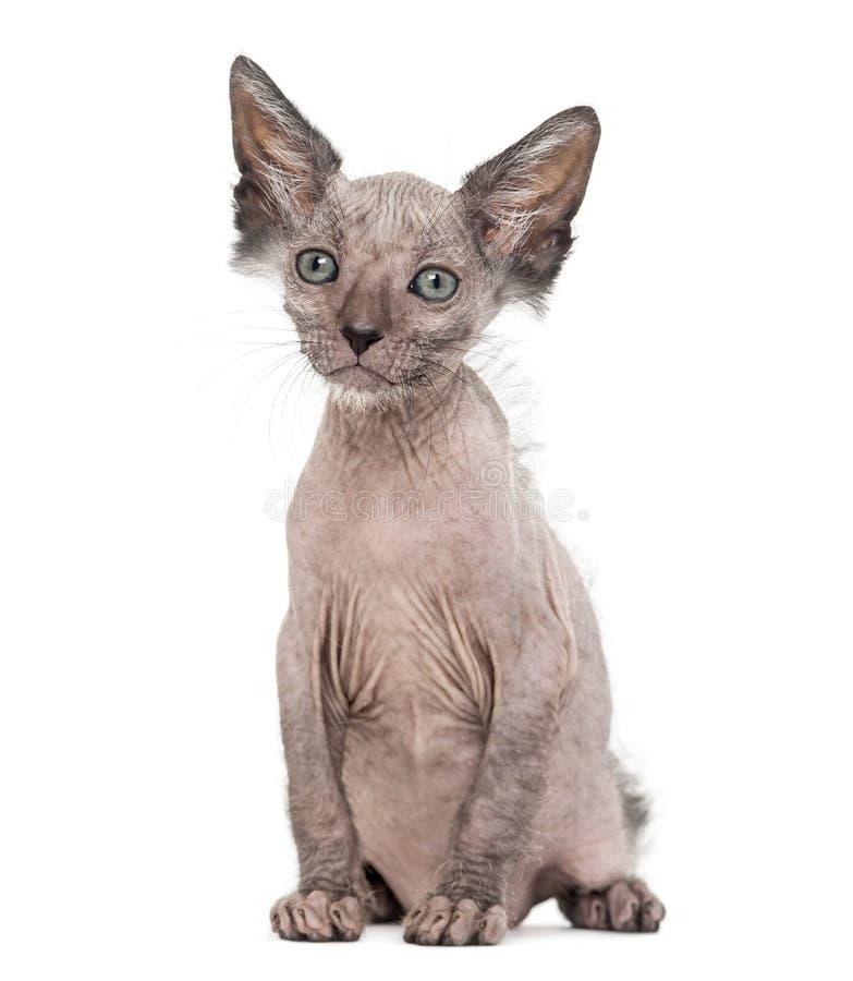 Download Kitten Lykoi Cat, 7 Weeks Old Stock Image - Image of alertness, studio: 109018759