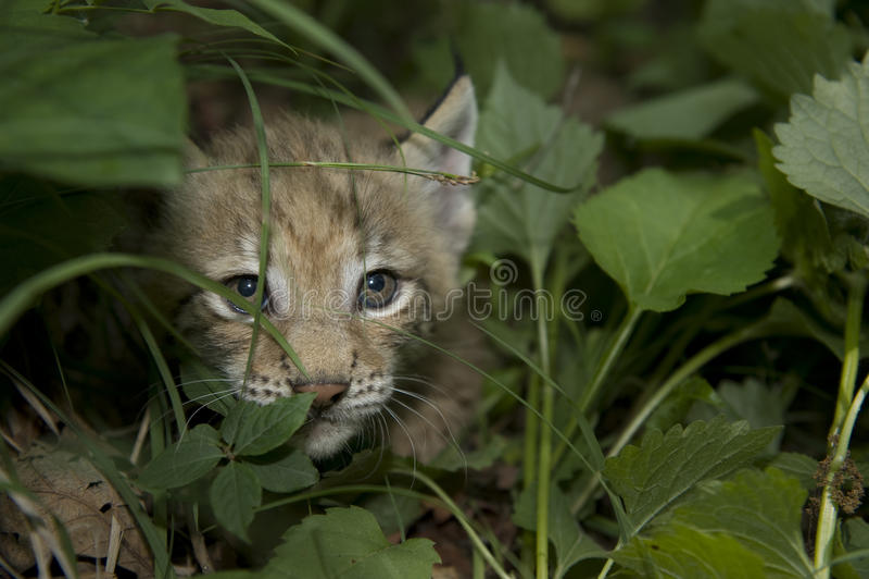 Download Kitten  Of Lynx Royalty Free Stock Image - Image: 20457366