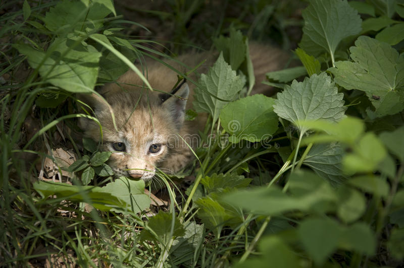 Download Kitten  of lynx stock image. Image of fearsome, forest - 20457367
