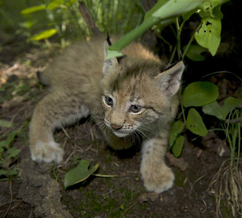 Download Kitten  Of Lynx Royalty Free Stock Photos - Image: 20457368