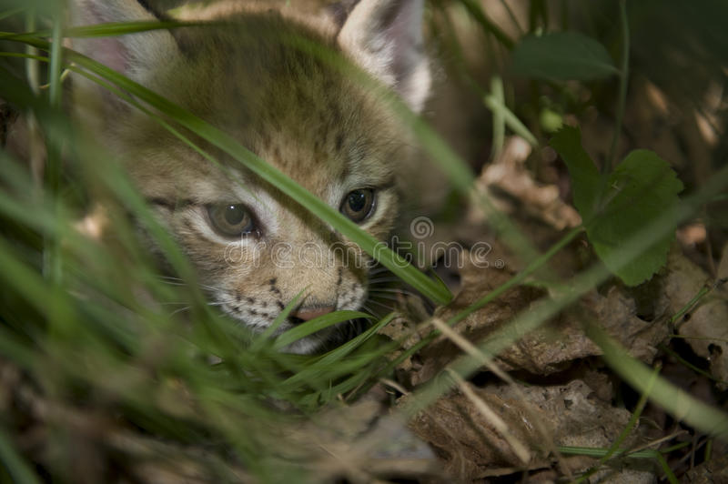 Download Kitten  Of Lynx Stock Image - Image: 20457371