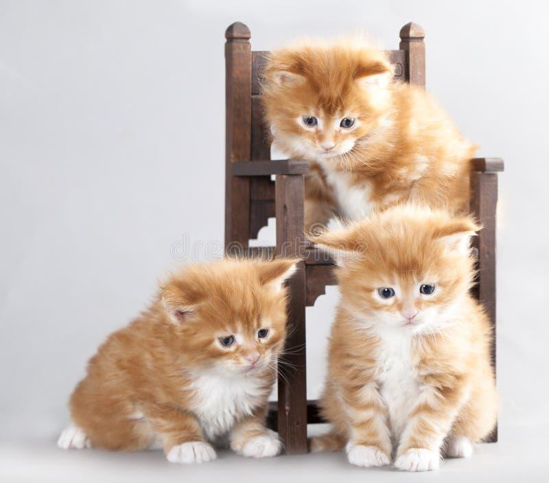 Kitten Maine Coon Stock Photos