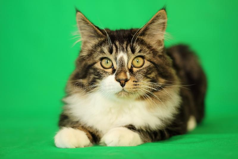 Kitten maine coon of gray tiger color with white breast in couhed position and attentive look on green background royalty free stock photos