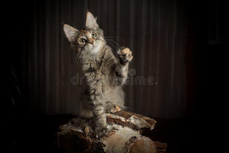 Kitten Maine Coon med de stora öronen royaltyfria foton
