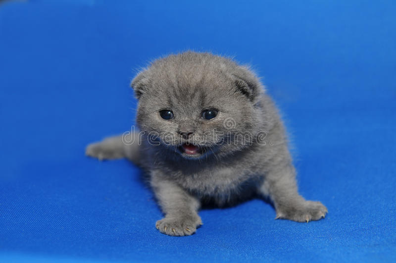 Kitten is a newborn. The kitten is a newborn, baby. Little kitten with newly opened eyes, British blue kitten, Pets, a very small kitten on a blue background, a royalty free stock image