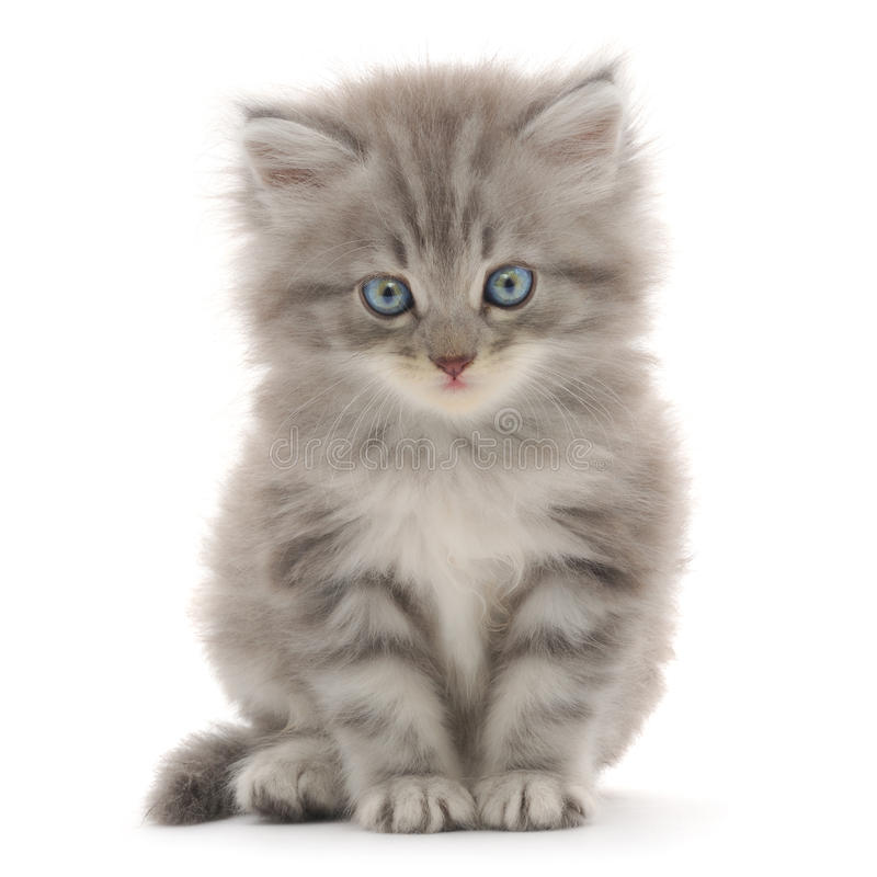 Free Kitten On A White Background Stock Images - 21102984