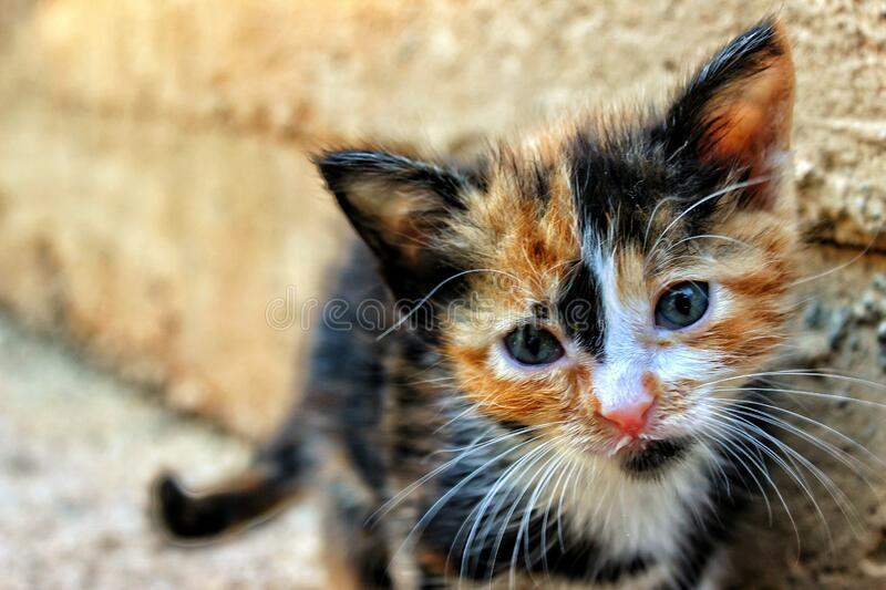 Kitten in outdoor portrait royalty free stock photo